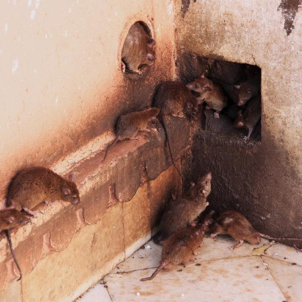 Rodent Exterminator Davie