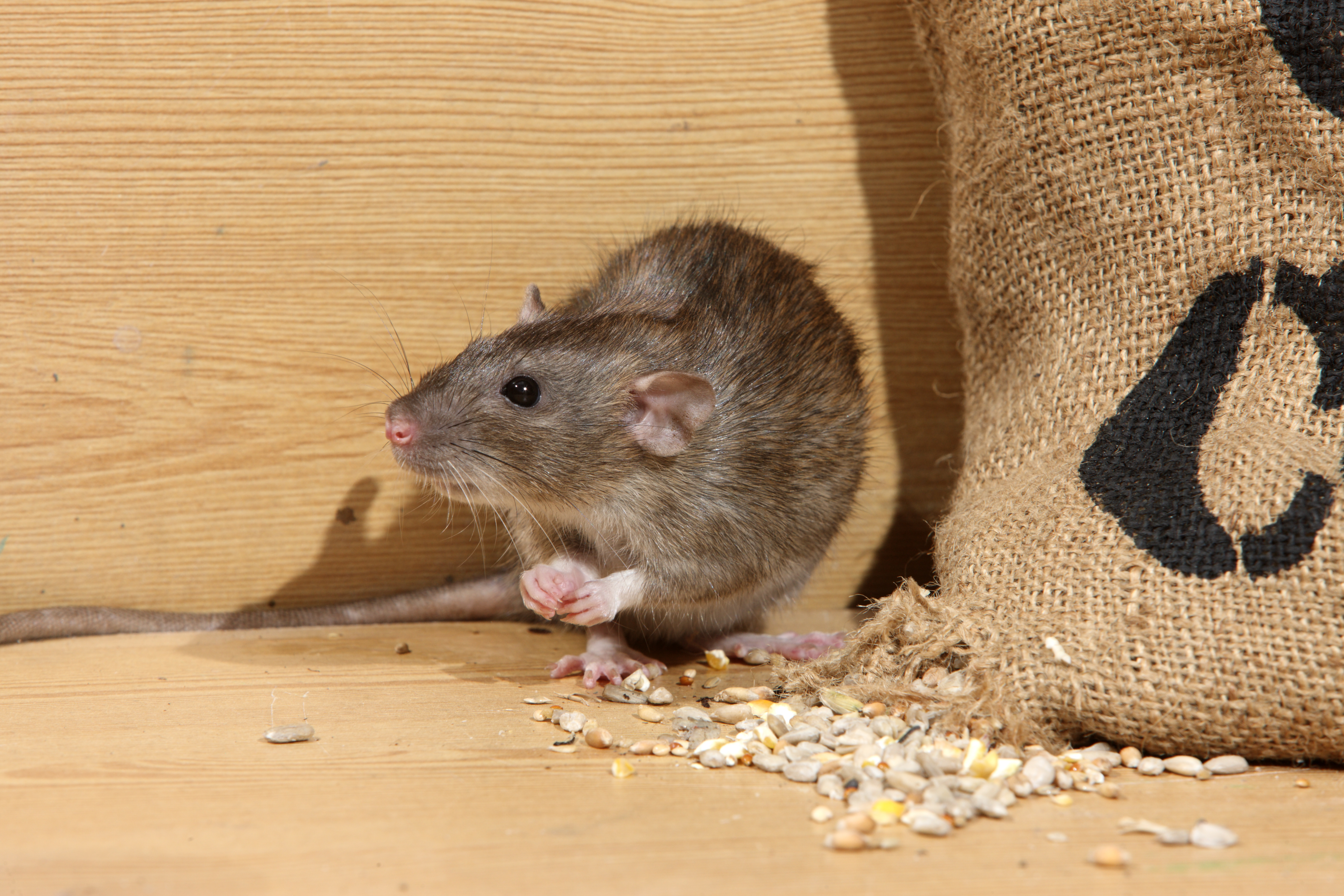 Rodent Control Davie, Fl | Rodent Extermination | Rodent Removal